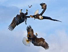 This is a shot of three eagles fighting over a fish in Homer, Alaska, from March 2008.