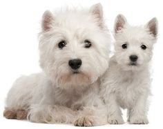 Picture of a Westie Dog and Puppy