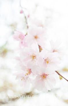 by Ann-Kristina Al-Zalimi, cherry blossom, flower, flowering, kirsikkapuu kukkii, blomma, blomstra, pink, pink flower, beautiful flower, spring, kevät, körsbär blommar, fine art photography