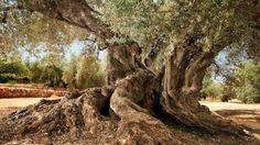 Naturaleza y Voluntariado Ambiental: El olivo de Ulldecona con 1.701 años entre los más...