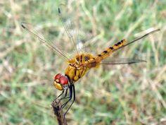 Recentemente, as libélulas da espécie Pantala flavescens foram consideradas os insetos que realizam a mais longa migração, superando a da famosa borboleta monarca. Nos tempos de monções, essas libélulas viajam da Índia para a África Oriental e Austral e vice-versa, percorrendo um caminho de 14 mil a 18 mil km. A longa migração desses insetos torna-os uma fonte de alimento acessível para as aves migratórias, o que significa que, se alguma coisa acontecer a esta espécie, as muitas aves também…