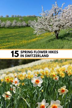 The best spring flower hikes in Switzerland for April to June, to see cherry blossoms, crocus, narcissus, dandelions and wildflowers. Click through for trail maps, directions and all the details you need to plan your hike. Best Of Switzerland, Narcissus Flower, Hiking Europe, Waterfall Hikes, Hiking With Kids, Tulip Fields, Best Hikes, Dandelions, Cherry Blossoms
