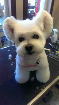 Amazing dog hairstyles grooming pinterest amazing dogs dog asian groom solutioingenieria Gallery