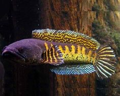 snakehead fish aquarium images - Google Search
