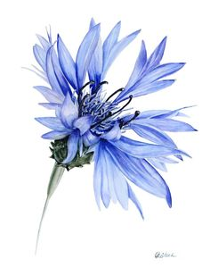 Blue cornflower Watercolour by Olga Koelsch - Aquarell - Flower Sketch Pencil, Flower Sketches, Color Pencil Art, Botanical Drawings, Botanical Art, Watercolor Artwork, Watercolor Flowers, Drawing Flowers, Art Floral
