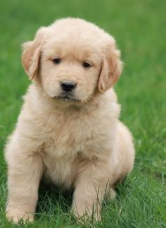 Golden Retriever Puppy #puppyforsale #puppylove