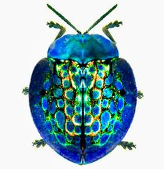 Image result for imperial tortoise beetle Insect Wings, Insect Art, Shield Bugs, Types Of Bugs, Beetle Insect, Carapace, A Bug's Life, Earth Design, Beautiful Bugs