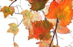 orange grapevine watercolor