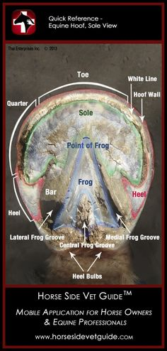 Horse Side Vet Guide - Quick Reference - Equine Hoof Sole Anatomy  http://horsesidevetguide.com/