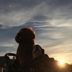 もん太🐾👅れん🐾👅 #toypoodle #poodle #トイプードル #プードル #トイプー #cavalierkingcharlesspaniel #cavalier #cav #ckcs #キャバリア #キャバリアキングチャールズスパニエル #愛犬 #pet #dog #わんちゃん #わんこ #instadog #dogstagram #petstagram #airbuggy #airbuggyfordog #エアバギーウォーク #空 #sky #雲 #clouds