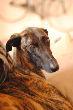 Gorgeous Galgo. These Spanish greyhounds are abused, tortured and slaughtered - by the thousands - each year. Please go to www.sagehounds.com to learn more about them & what you can do to help.