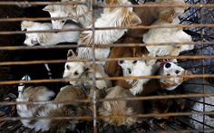 Sellers kept the dogs dozens to a cage before electrocuting and skinned them   alive, before serving them with lychee