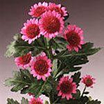 Bernardo - Spray (Pompoms) - Chrysanthemum - Flowers by category | Sierra Flower Finder