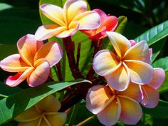 How to Grow and Care for Plumeria - See more at: http://worldoffloweringplants.com/grow-care-plumeria