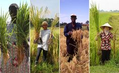 Instant Rice: A French Priest's Simple Growing Technique Is Revolutionizing the World's Grain - Modern Farmer