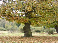 Beautiful Autumn leaves in Sutton Park Birmingham Warwickshire England.   2016