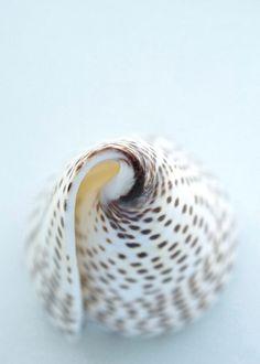 Sea Shell Dreamy White Brown Pale Light Blue door LTphotographs, $15.00
