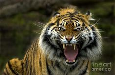 Eyes Of The Tiger Photograph