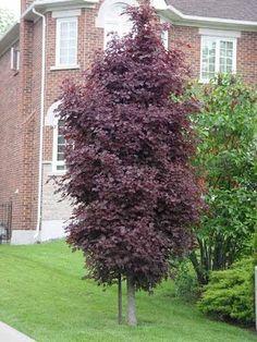 Acer platanoides 'Crimson Sentry' - Progressive Plants