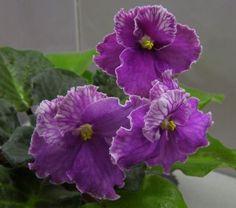 African Violet Echo Karnavala Russian/Ukrainian variety