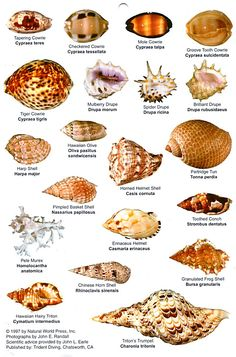 Shell Identification Chart. #seashells #shells #beach #chart