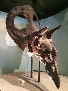 Brian Switek @Laelaps Torosaurus, I still believe in you. @AcadNatSci @AndyFarke