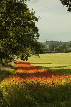 Poppy Field in Blackstone, Worcestershire Wildlife Trust, England