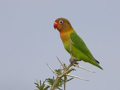 Fishers Lovebird - Agapornis fischeri, Tanzania