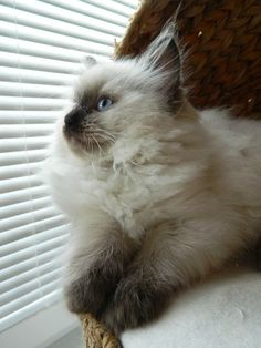 Seal Colorpoint Ragdoll Cat - this is my FAVORITE ragdoll coloring :)