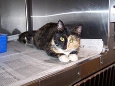 Bella is a gorgeous cat who is up for adoption at Page Co. Animal Shelter.