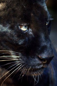 Black Panther / Big Cats / Wild Book