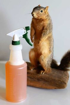 Homemade Squirrel Repellent Keeping Squirrels Out