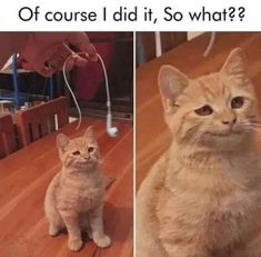 Cute Animal Memes, Funny Animal Quotes, Animal Jokes, Funny Animal Pictures, Cute Funny Animals, Funny Photos, Funny Cat Images, Humorous Pictures, Animal Humour