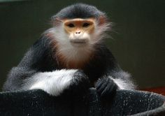 25 Monkeys, Lemurs, and Langurs Your Grandkids Might Never See