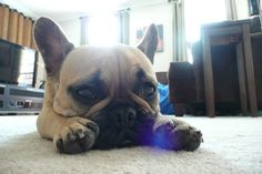 'Pouty Face', French Bulldog Puppy