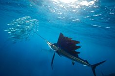 Picture of a sailfish