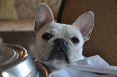 Frenchie, patiently waiting.