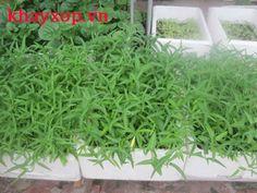 khay xốp dùng để trồng rau giá 2000k/cái
