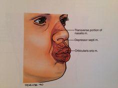 Orbicularis Oris and nasal musculature
