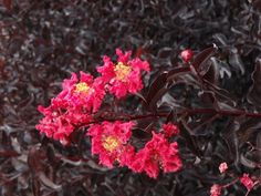 Crape Myrtle Black Diamond Crimson Red | Plant Me Green