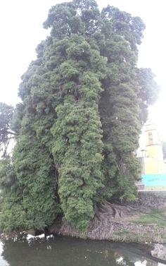 Ahuehuete Gigante en Santa María Acuexcomac, San Pedro Cholula, Puebla, México