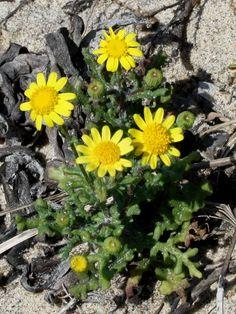 O Botânico Aprendiz na Terra dos Espantos: Senecio gallicus