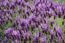lavandula angustifolia vera -