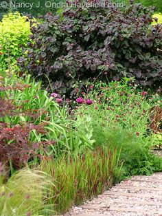 Imperata cylindrica 'Rubra' with Knautia macedonica and Corylus avellana 'Red Majestic' in the front garden [Nancy J. Ondra at Hayefield]