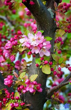 Flowering crab apple tree: