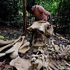 Elephant bones found in the forest outside Sounga village in the Gamba district, Gabon. Ivory Trade, African Countries, Gentle Giant, African Elephant, Go Green, Wildlife Photography, Cute Animals, Around The Worlds, Creatures