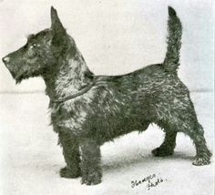 Best in Show, Westminster 1911 and my Argyle MacPiper looks very much like this turn of the century Scot.