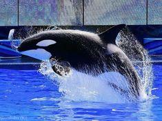 Orcas Seaworld, Seaworld Orlando, Undersea World, Ocean Park, Ocean Creatures, Antibes, Killer Whales, Throughout The World, Dolphins