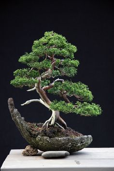 "This shot is after tweaking by Sandro Segneri, teacher and head of BonsaiCreativo.it, an international bonsai school.  See my photoset ""Bonsai"" for earlier photos of this tree."