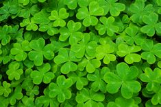 shamrock clovers